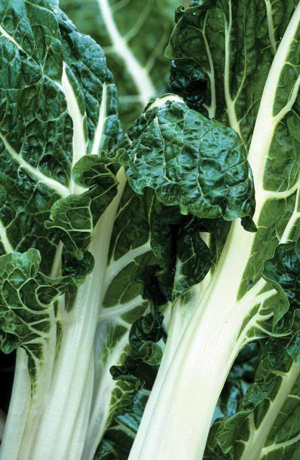 Chard 'White Silver 2' seeds