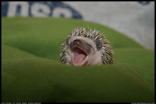 Baby hedgehog says cheese!: Photos Galleries, Blanket, Hedges, Sleepy Animal, Backgrounds, Baby Hedgehogs, Boas Noit, Funny Baby, Animal Photos