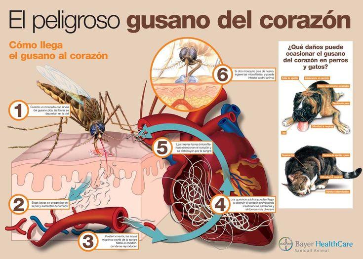 """Ciclo vital de la Filaria, también conocida como """"Gusano del Corazón"""""""