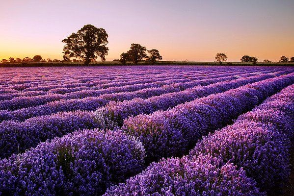 ...: Canon, Lavenderfields, England, Dawn O'Port, Lavender Fields, Graham Mcpherson, Beautiful Places, Photo, Dawn Lights