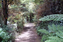 The tangihua track through the Northland bush (NZ term for forest)