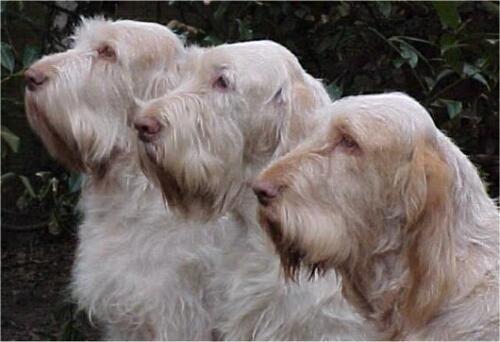 Google Image Result for http://www.tiptopglobe.com/big-photo/spinone-dog-standard-1.jpg