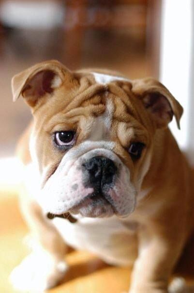 top english bulldog breeders 2122 best images about cute and funny bulldogs on 3361