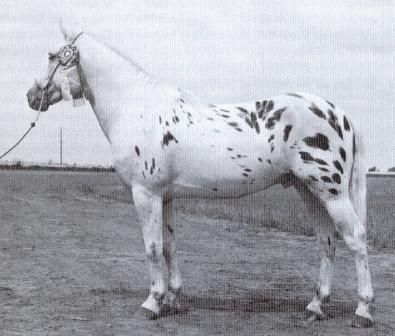 Blackhand foundation stallion for Pony of the Americas ...