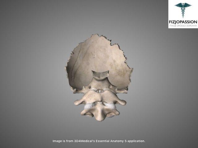 Articulatio atlantoaxialis anterior view / Staw szczytowo-obrotowy widok z przodu