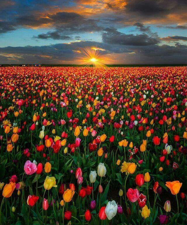 I Love Tulips They Are My Favorite Flowers