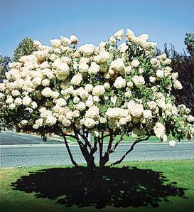 Front Yard Tree: Pee Gee Hydrangea  Hydrangea paniculata 'Grandiflora'    Flowering Shrub with Large White Flowers  Adapts to a Wide Range of Climates from Zones 3 to 8  Only Hydrangea that can be Pruned into a Tree  10' to 20' High by 10' to 20' Wide