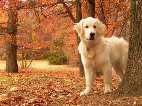 Nothing more beautiful than a golden retriever in the fall!