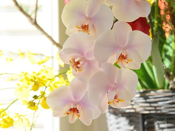 胡蝶蘭 Phalaenopsis orchid