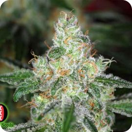 Chronic - strain - Serious Seeds | Cannapedia