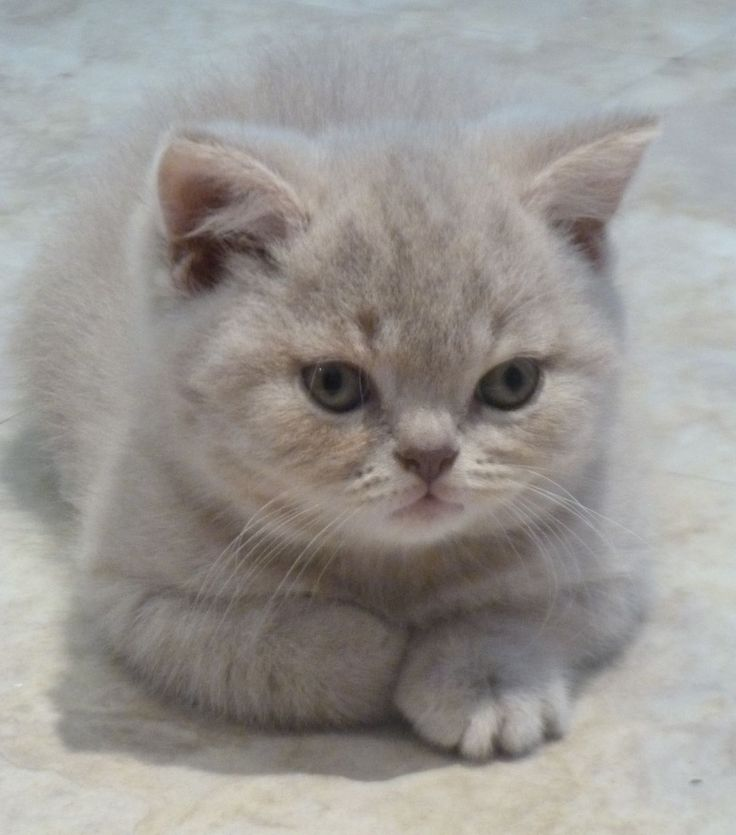 lilac tabby british shorthair - Google Search