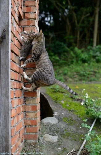 Only a cat can safely pick up a kitten by  the 'scruff' < neck) safely. This momcat is  amazing scaling a wall to a window where  she probably found a safe nest for her  young.