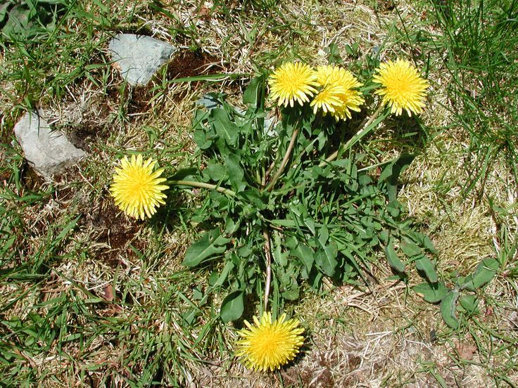 PSA: Kills Dandelions ... Doesn't Kill your Kids or Pets! 1/2 gallon of Apple Cider Vinegar 1/4 c table salt 1/2 tsp Dawn liquid dish soap Mix above ingredients in a spray bottle. Spray weeds thoroughly.  The Dawn dish soap strips the weed of its protective oils so the vinegar can work with deadly force. Actually better than insecticides you buy at hardware store.
