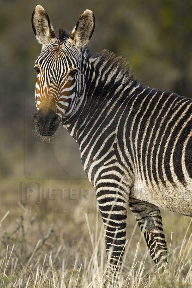 African mountain animals - Cape Mountain Zebra Equus Zebra Zebra Capeszebrassouth Africamountainwildlifeanimals