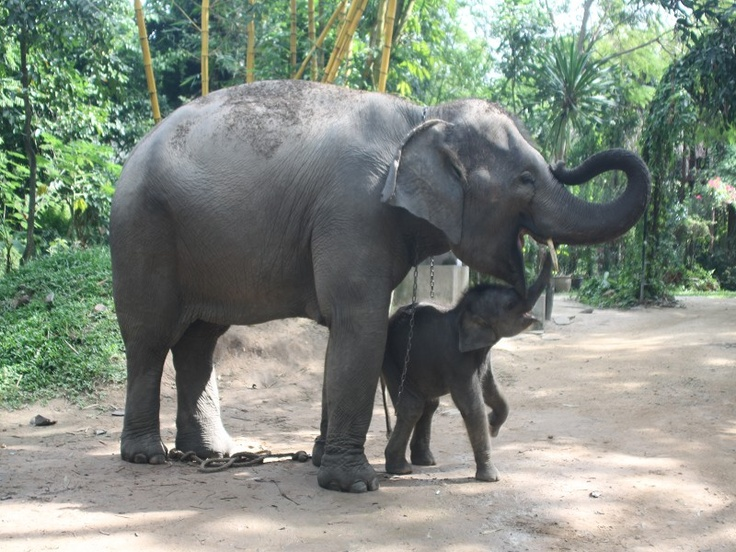 Mother and baby at Pattaya Elephant Sanctuary in Thailand