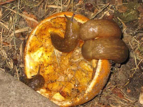 peau de pamplemousse refuge à limace