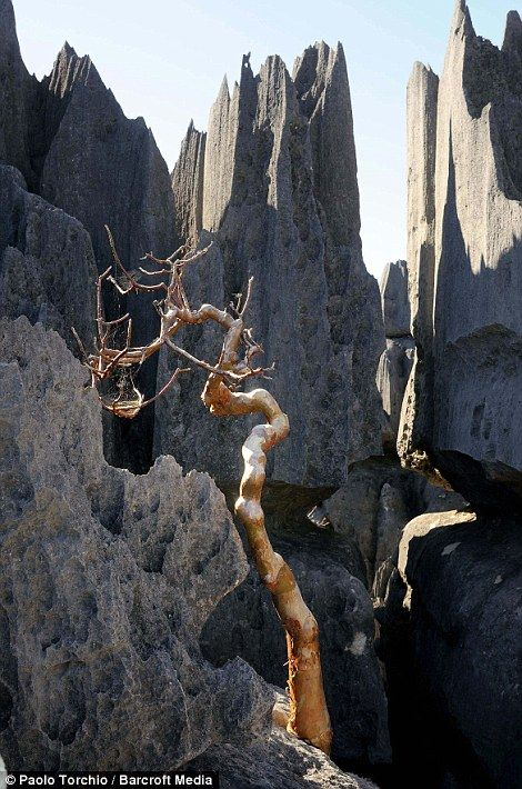 A baobab tree grown in between the Tsingy Shows the Incredible adaptation of life in Madagascar