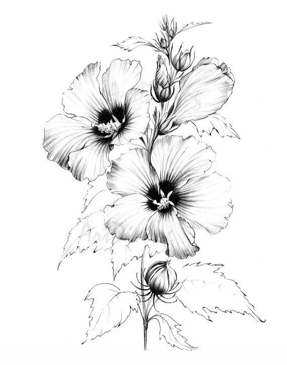 Hibiscus Sketch Line Drawing Coloring Page Clipart Large Botanical Art A1 Print A4 Blac In 2020 Flower Line Drawings Pencil Drawings Of Flowers Line Art Drawings
