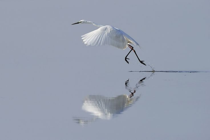 Ardeinae Burgenland Casmerodius albus neusiedler see Neusiedlersee Pannonia Reiher Schreitvögel Seewinkel Seichtwasser Silberreiher Spiegel Spiegelung Vogel Wasser waten