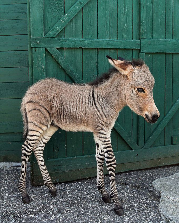Zonkey. One part zebra, one part donkey, all parts fuzzy and adorable.