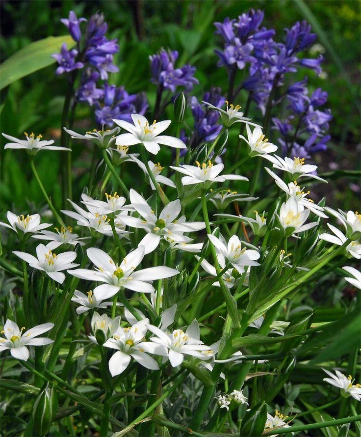 Ornithogalum umbellatum - Ornithogalum - Flower Bulb Index