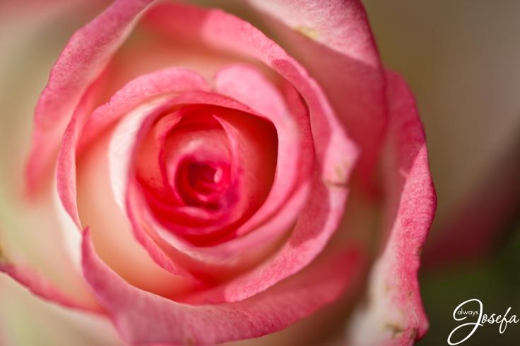 Pink Rose close up www.alwaysjosefa.com