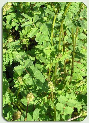 Kleine pimpernel Sanguisorba minor,  Toepassing: salades, kruidenboter, sauzen, bowl smaakt naar komkommer Je kan de bladeren van de pimpernel vers of gedroogd worden gebruiken Pimpernel smaakt pittig, een beetje nootachtig en heeft een sterke komkommersmaak.