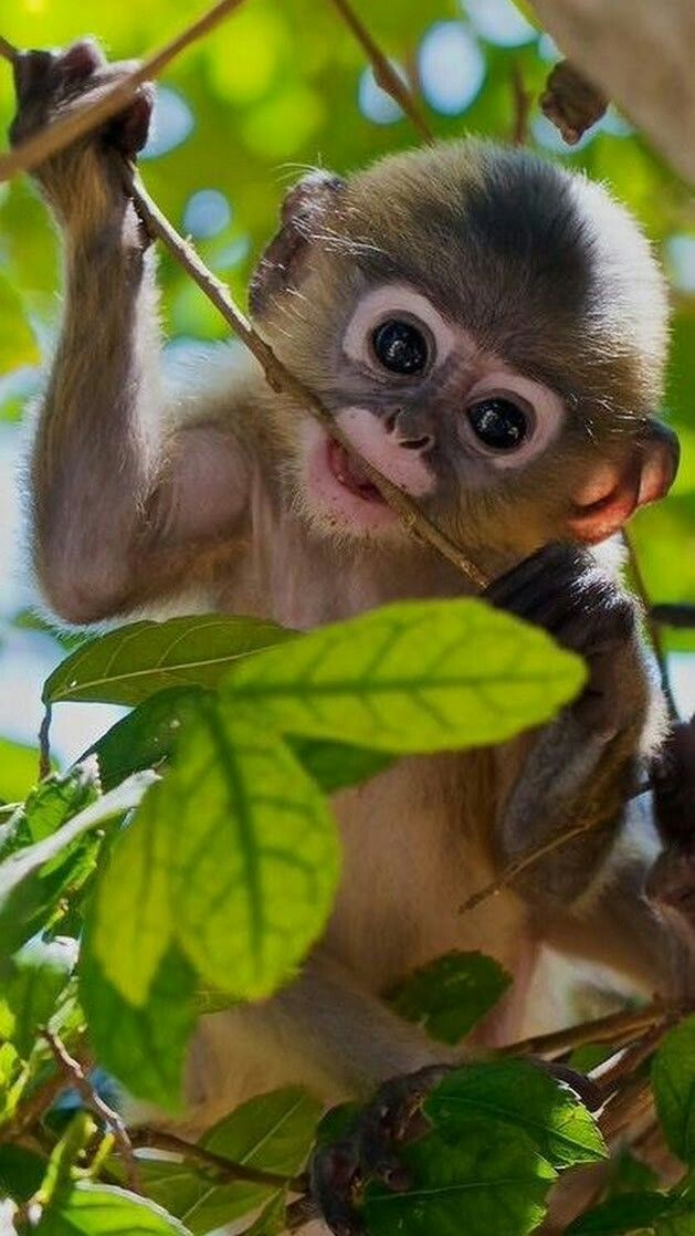 Un lindo chimpancé