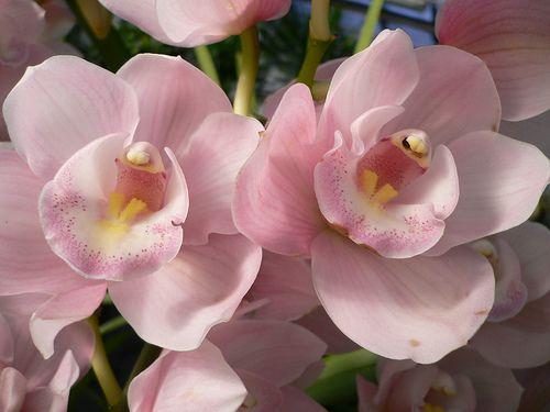 Ajánljuk: Virágzásához hűvös kell a csónakorchideának, http://kertinfo.hu/viragzasahoz-huvos-kell-a-csonakorchideanak/, ezekben a témakörökben:  #Növény #Szeptemberi #Virág, írta: Édenkert.hu