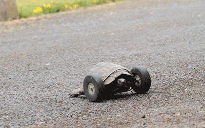 Diese 90 Year Old Tortoise verlor ihre Vorderbeine, damit ihre Besitzer hat ihr einen neuen Satz von Rädern