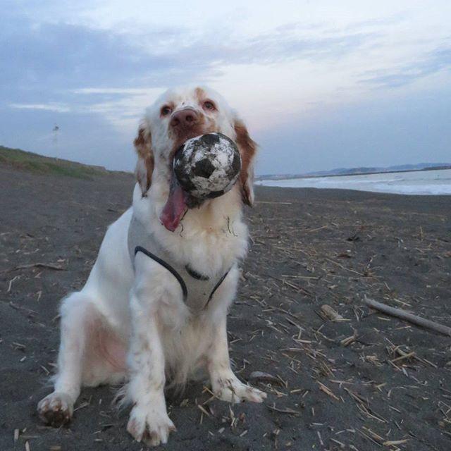 【sabukun_gogo】さんのInstagramをピンしています。 《#Clumberspaniel#beachsoccer #sea#doglover#ocean#smile #dogwalking#happy#beach#run #traning#wilddog #サッカー#海#散歩#陽気 笑顔#嬉しい#さぶちゃん》