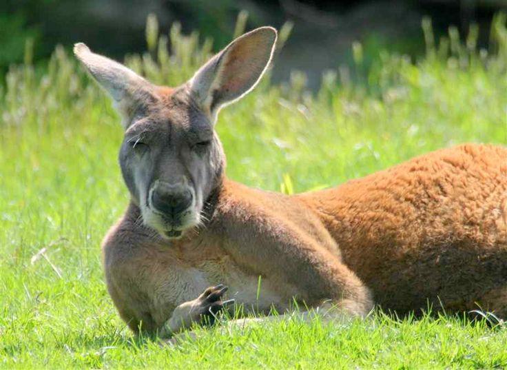 images of kangaroos   Kangaroo resting