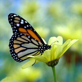 Vlinder: Beautiful Butterflies, Birds Butterflies Th, Butterflies Dragonfly, Amazing Butterflies, Beautiful Insects, Things Monarch, Monarch Butterflies,  Monarch Butterfly, Butterflies Beautiful