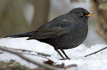 BirdLife Suomi - Pihabongaus - Mustarastas