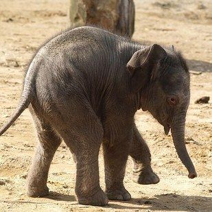 After a 22-month long gestation, the female Asian elephant calf was born in March at the Twycross Zoo.