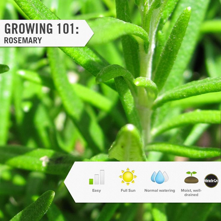 It's easy to grow rosemary in your herb garden. Learn how. #Project #Tips #Gardening #DIY