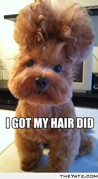 I got my hair did...Hairstyles, Puppies, Funny Dogs, New Hair, Pets, Big Hair, Through, Hair Looks, Animal