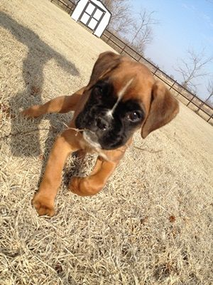 Boxer Dog Photo Gallery & Postcard - Here's....Lucy!