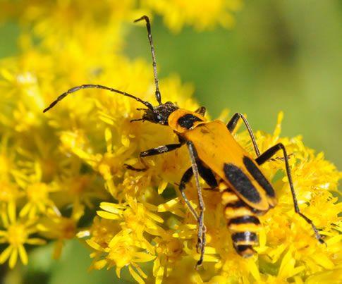 beneficial bugs Soldier Beetles - Google SearchLong-Horn Beetle