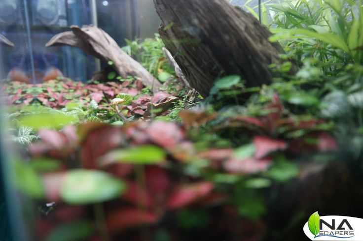 Fitonia red, Fitonia green e Hydrocotile Japan.
