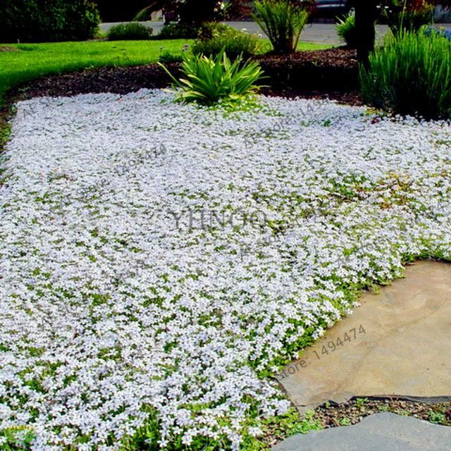 200pcs Bag Mixed Color Rock Cress Creeping Thyme Seeds Perennial Flower Seeds Ground Cover Flower Garden Decoratio Lawn Alternatives Plants Ground Cover Plants