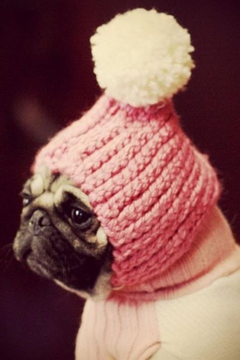 Pug in pink.