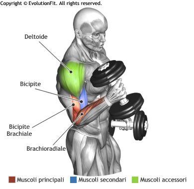 mappa-muscolare-bicipiti-hammer-curl-manubri.jpg (390×380)