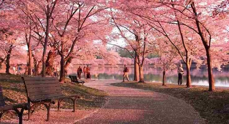 Pin By Cathy Hand On Washington Dc Cherry Blossom Festival Blossom Trees Cherry Blossom Tree