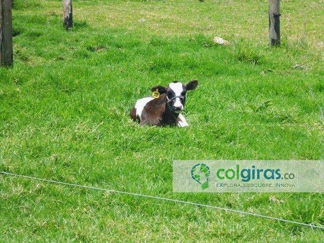 Cria Ternero Holstein, Sabana de Bogotá