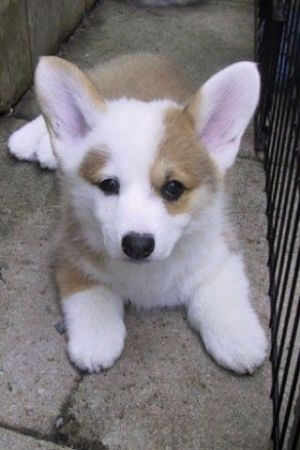 Corgi Pup Cuteness....can't handle how cute this is!