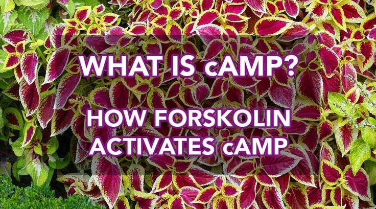cAMP How Does Forskolin Improve Weight Loss  Supplements ScoreCard
