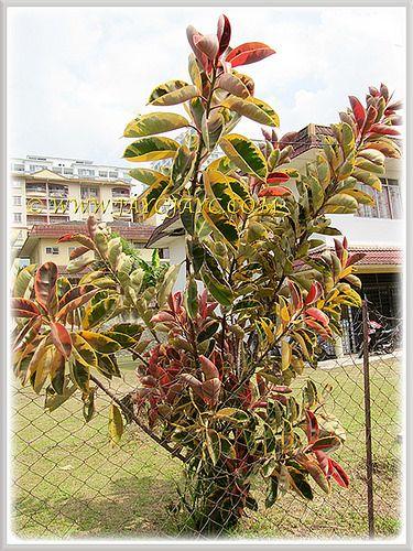 156 best images about ficus elastica on pinterest - Ficus elastica cuidados ...