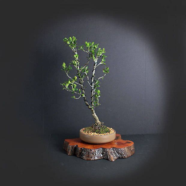 Japanese Boxwood Bonsai Tree, Japanese bonsai collection LiveBonsaiTree by LiveBonsaiTree on Etsy
