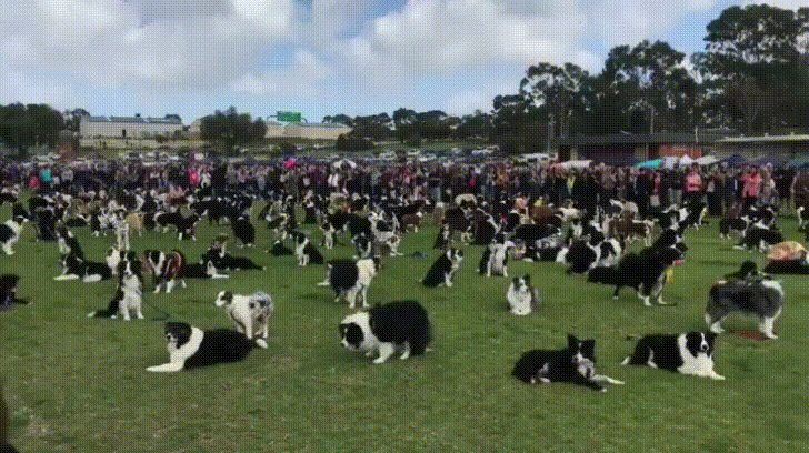 Almost 600 Border Collies gather in attempt to break world record http://ift.tt/2yokoAx